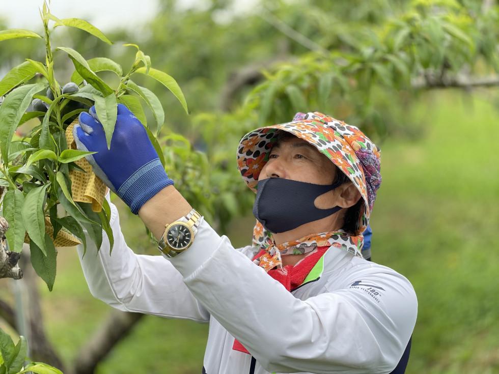이사진은 영동군장애인복지관장님이농가일손돕기로 대민지원 나가서 복숭아농가에서 복숭아를 종이로 감싸는 작업을 하고 있는 사진입니다
